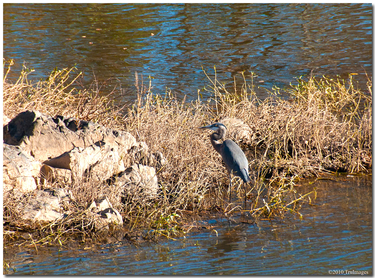 Nov 14<br /> The Great Blue Heron