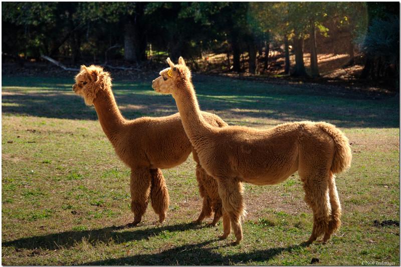 Nov 14<br /> Juvenile Llamas