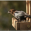 Mar 13<br /> Brown headed cowbird