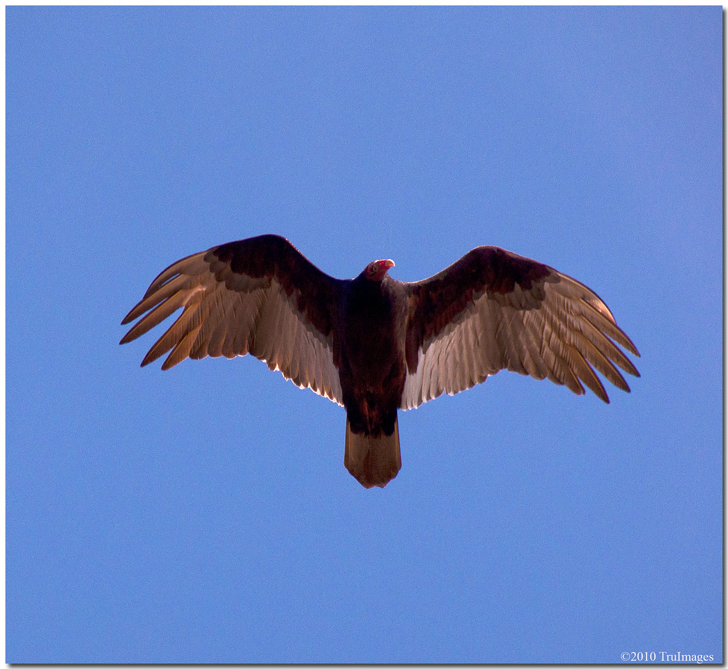 Nov 21<br /> Turkey Vulture