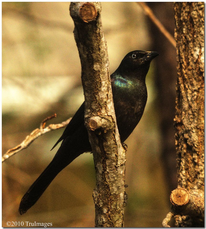 Mar 28<br /> A Grackle