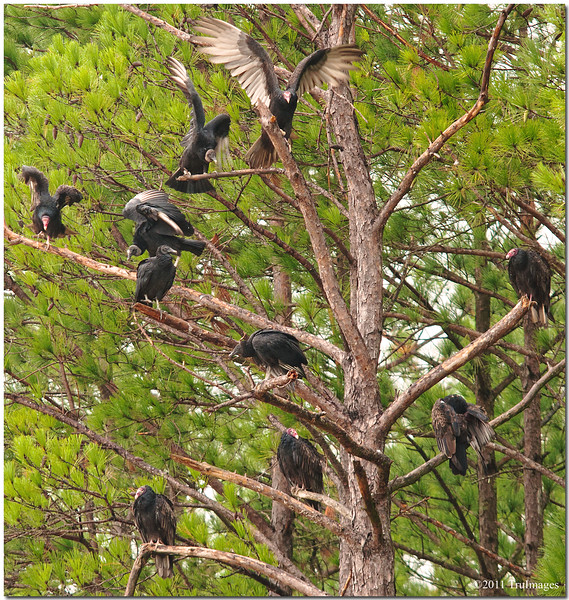"Sept 24<br /> ""The Vultures"", coming soon to a tree near you!"