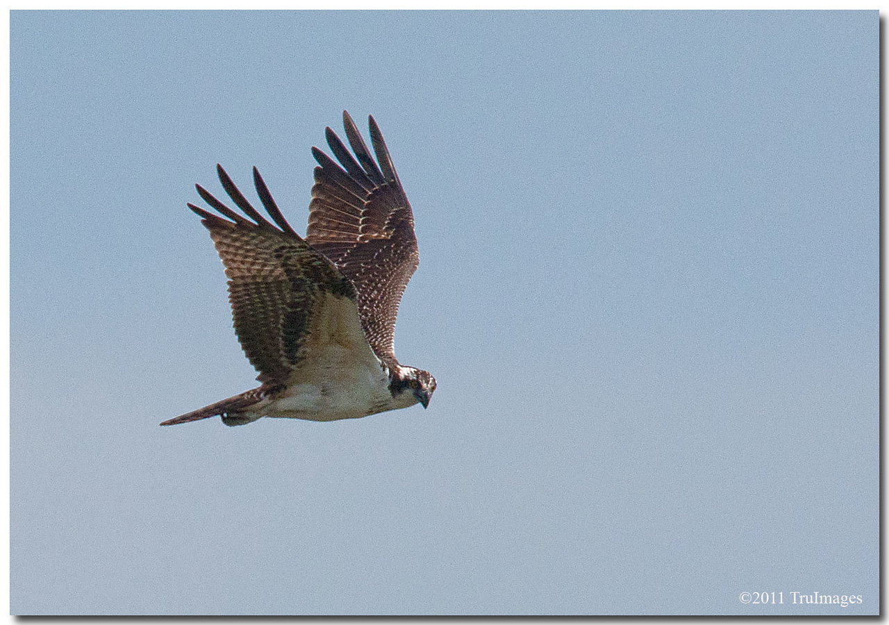 Sept 4<br /> An osprey sees a snack
