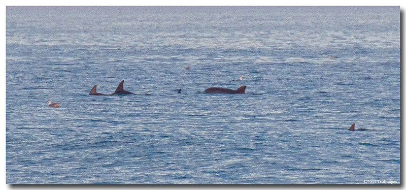 """Jan 30 Dolphins! See more dolphins <a href=""""http://truimages.smugmug.com/Other/dolphins/15829993_M6Cxj"""">here</a>"""