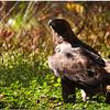 "Oct 30 A golden eagle listening for prey For additional eagle images, click   <a href=""http://truimages.smugmug.com/Photography/Carolina-Raptor-Center"" title=""Photo & Video Sharing by SmugMug""><img src=""http://truimages.smugmug.com/Photography/Carolina-Raptor-Center"" title=""Photo & Video Sharing by SmugMug"" alt=""Photo & Video Sharing by SmugMug"">here</a>"