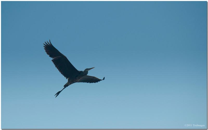 May 30<br /> A Heron, soaring above