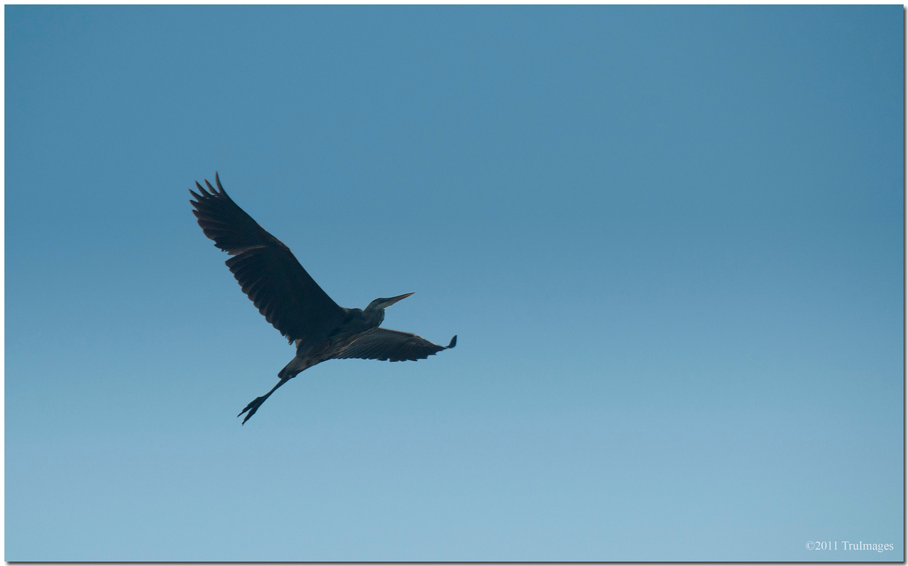 May 30<br /> A Heron, soaring above