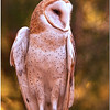 """Oct 30 The Barn owl showing off its long legs For additional owl images, click   <a href=""""http://truimages.smugmug.com/Photography/Carolina-Raptor-Center"""" title=""""Photo & Video Sharing by SmugMug""""><img src=""""http://truimages.smugmug.com/Photography/Carolina-Raptor-Center"""" title=""""Photo & Video Sharing by SmugMug"""" alt=""""Photo & Video Sharing by SmugMug"""">here</a>"""