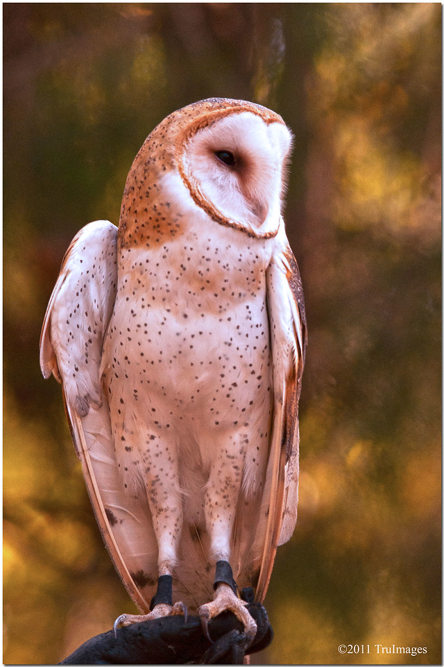 "Oct 30 The Barn owl showing off its long legs For additional owl images, click   <a href=""http://truimages.smugmug.com/Photography/Carolina-Raptor-Center"" title=""Photo & Video Sharing by SmugMug""><img src=""http://truimages.smugmug.com/Photography/Carolina-Raptor-Center"" title=""Photo & Video Sharing by SmugMug"" alt=""Photo & Video Sharing by SmugMug"">here</a>"