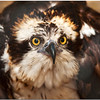"Oct 30 A suspicious Osprey  For additional raptor bird images, click   <a href=""http://truimages.smugmug.com/Photography/Carolina-Raptor-Center"" title=""Photo & Video Sharing by SmugMug""><img src=""http://truimages.smugmug.com/Photography/Carolina-Raptor-Center"" title=""Photo & Video Sharing by SmugMug"" alt=""Photo & Video Sharing by SmugMug"">here</a>"