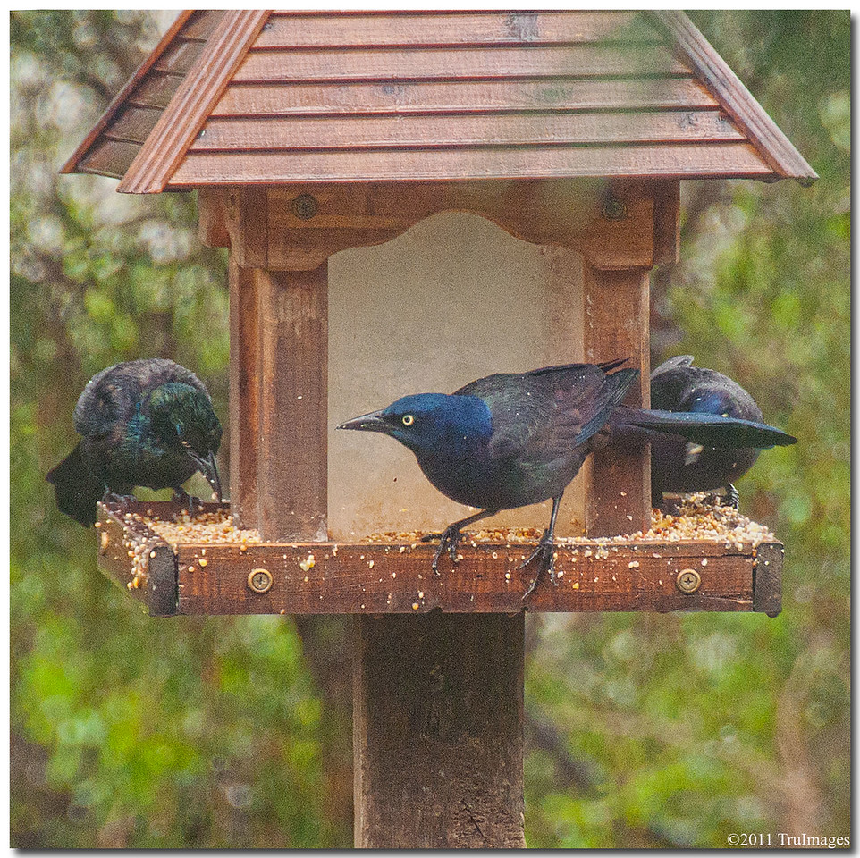 Mar 30<br /> Grackles, stealing!