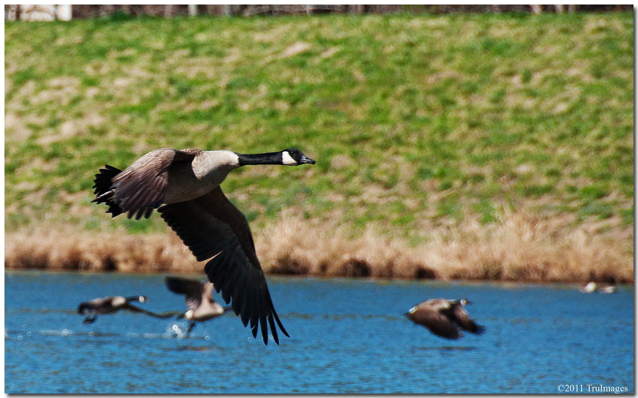 Mar 19<br /> Canada geese taking off