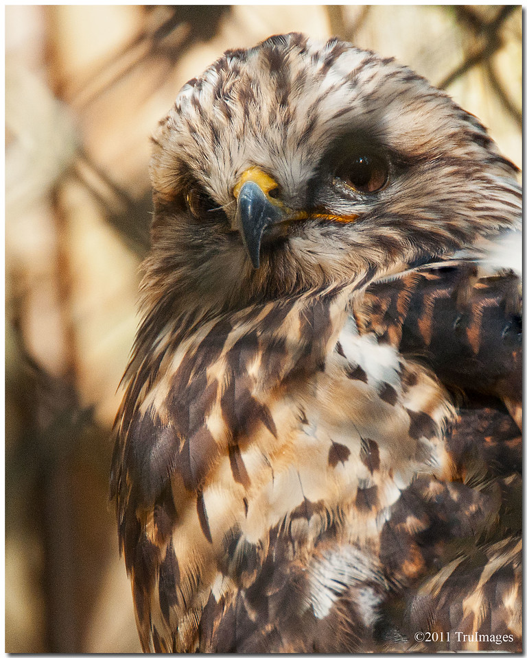 "Oct 30 Rough legged Hawk at the Carolina Raptor Center. For additional images, click   <a href=""http://truimages.smugmug.com/Photography/Carolina-Raptor-Center"" title=""Photo & Video Sharing by SmugMug""><img src=""http://truimages.smugmug.com/Photography/Carolina-Raptor-Center"" title=""Photo & Video Sharing by SmugMug"" alt=""Photo & Video Sharing by SmugMug"">here</a>"