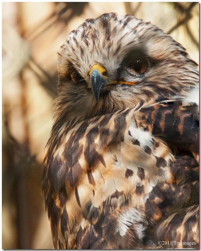 "Oct 30 Rough legged Hawk at the Carolina Raptor Center. For additional images, click   <a href=""http://truimages.smugmug.com/Photography/Carolina-Raptor-Center"" title=""Photo & Video Sharing by SmugMug""><img src=""http://truimages.smugmug.com/Photography/Carolina-Raptor-Center"" title=""Photo & Video Sharing by SmugMug"" alt=""Photo & Video Sharing by SmugMug"">here</a>"