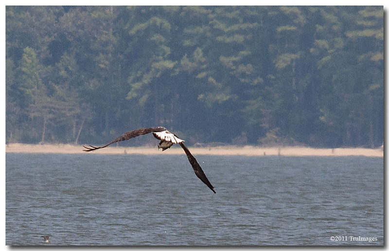 Sept 4<br /> A Bald eagle flies off to enjoy its lunch