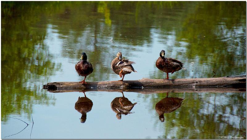 Jun 26<br /> Duck decoys!