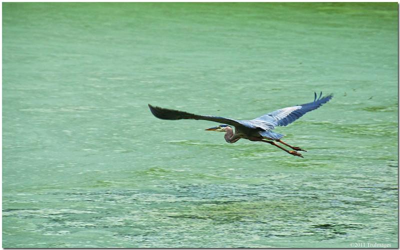 Jun 26<br /> Great blue heron