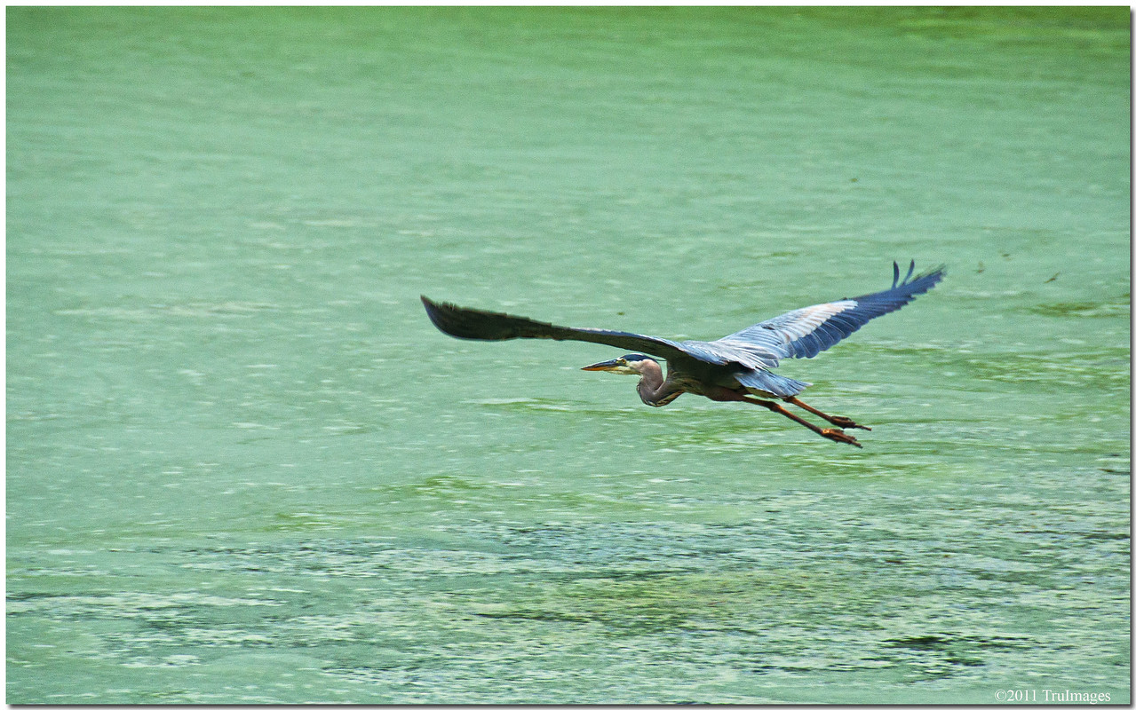 Jun 26<br /> Great blue heron