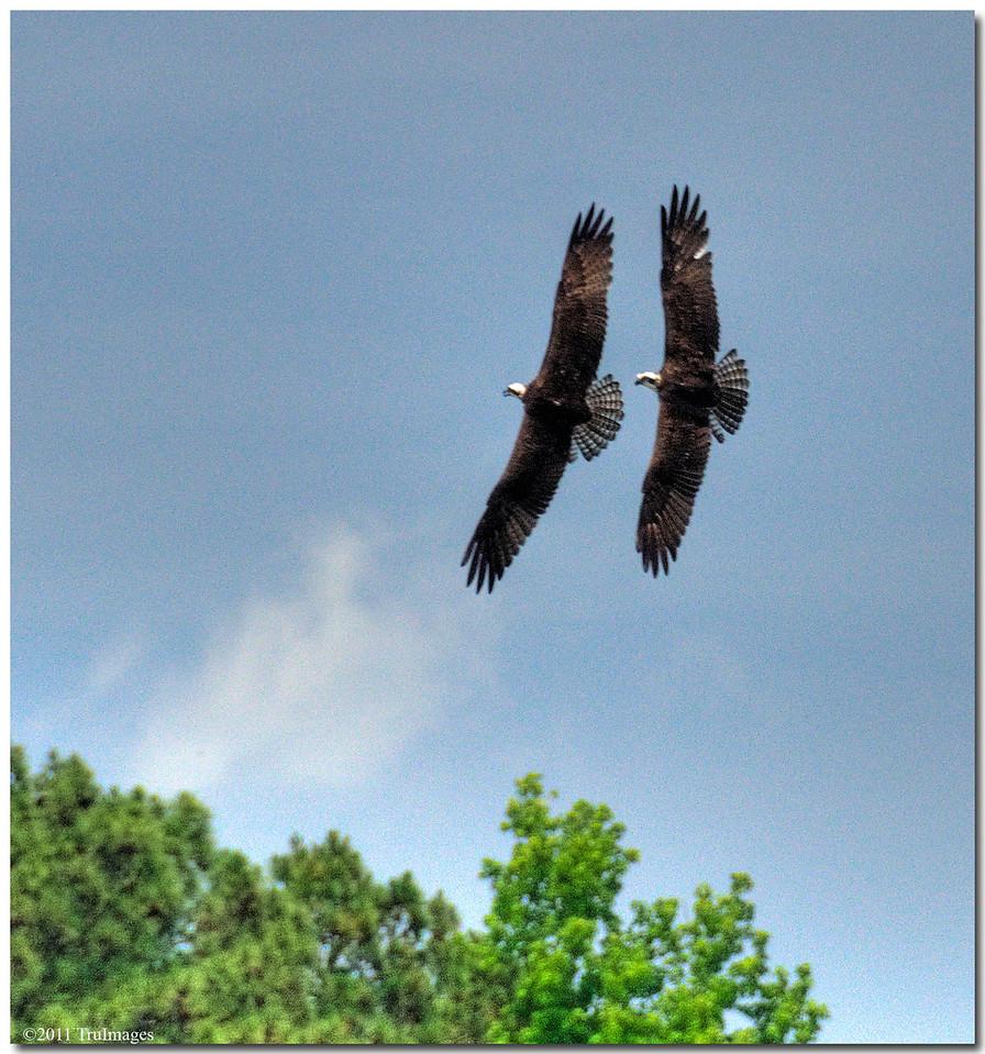 May 21<br /> Osprey x 2