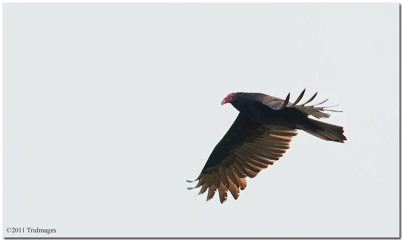 Sept 24<br /> Flight of the vulture