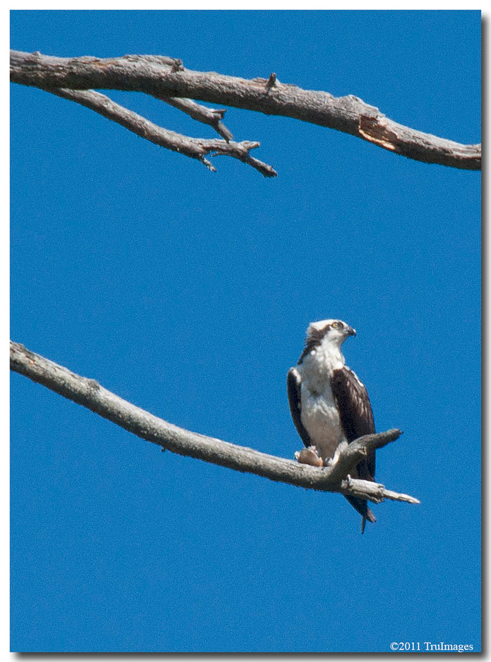 Mar 12<br /> The Osprey (Pandion haliaetus)