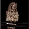 Apr 20<br /> Urban Barred Owl
