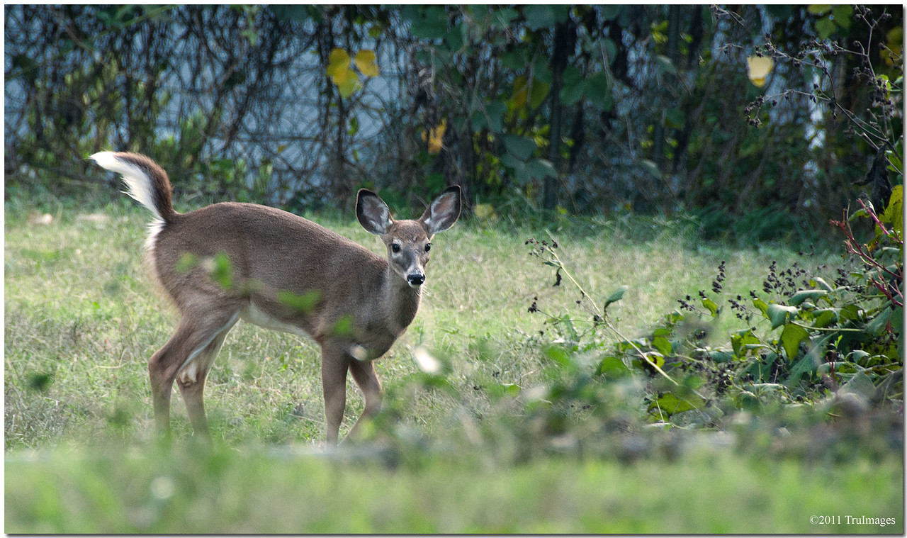 Oct 22<br /> An urban deer frolicking
