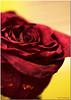 Jul 11<br /> A rose preserved
