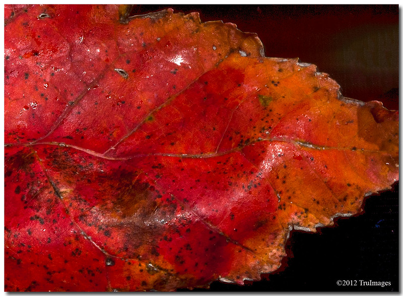 Nov 20<br /> Textures and colors<br /> <br /> My boyfriend found this leaf outside and loved the colors, thinking it would make for a nice photo! <br /> <br /> Thanks again for all of the wonderful comments!!