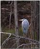 Feb 22<br /> Great blue heron, relaxing