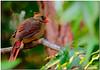 Sept 4 <br /> A femaie cardinal