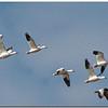 Feb 5<br /> Snow Geese<br /> Pea Island NWR