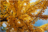 Dec 4<br /> The Gingko <br /> <br /> The leaves of this tree are so beautiful, with vibrant yellow hues! It almost lookes as if its covered with hundreds of yellow butterflies!<br /> <br /> Thanks for your fun comments on the 'dedicated to the teacher' photo!
