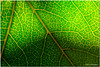 Sept 1 <br /> veins <br /> <br /> Strolling in the backyard, i captured this leaf, backlit by the evening sun.
