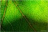 Sept 1 <br /> veins <br /> <br /> Strolling in the backyard, i captured this leaf, backlit by the evening sun.