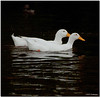 May 7<br /> A pair of white geese enjoying an evening swim