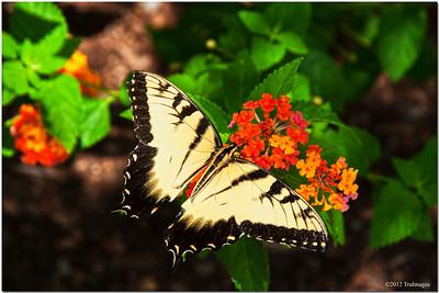 Jul 15 Tiger swallowtail