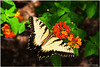 Jul 15<br /> Tiger swallowtail