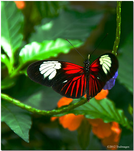 Aug 16 wings of a flower  Another postman butterfly, with fiery red wings.