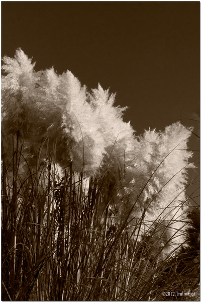 Sept 26 <br /> Wild cat tails<br /> <br /> These beauties were basking in the evening sun, begging to be photographed.  i have never seen any this full and fluffy!