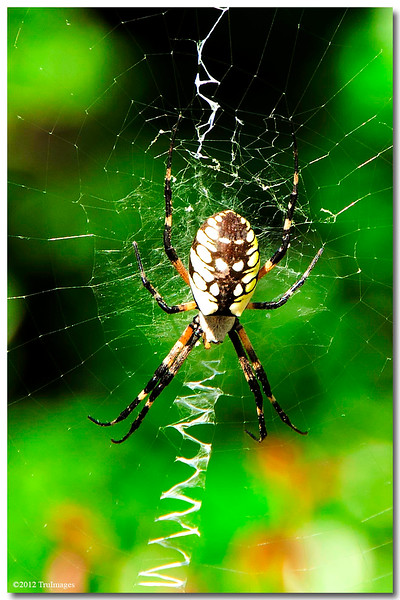 Sept 17 <br /> Spider scribblings<br /> <br /> Late upload today..busy with work earlier!<br /> I am soooo much a sufferer of arachniphobia! This was a challenge for me to photograph this guy and eventually look at the photo. Now i am done with spider therapy, lol!
