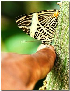 Jul 17 Butterfly kiss