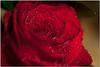 Feb 20<br /> Velvety rose