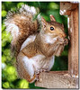 Sept 21 <br /> birdseed bandit <br /> <br /> This squirrel doesn't miss an opportunity to graze at the birdfeeder and pose for portraits!