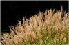 Oct 17 <br /> Sunkissed<br /> <br /> From the archives, ornamental grasses basking in the golden sunlight.<br /> <br /> Thanks for all of the great comments on my sparkling wine shot!!!!