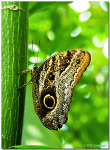 Jul 18 Owl butterfly of Central and South America