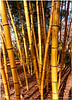 Dec 6<br /> Fall colors of bamboo<br /> <br /> Apparently bamboo changes color in the fall as well! These were basking in the evening sunlight.<br /> <br /> Thanks for your wonderful comments on yesterday's photo!