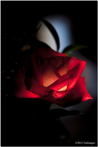 Feb 17<br /> A single rose