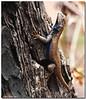 Apr 15<br /> Western Fence Lizard