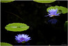 Aug 22 <br /> water lily<br /> <br /> Imagine lounging on a lilypad all day! Ahh the life of a toad!